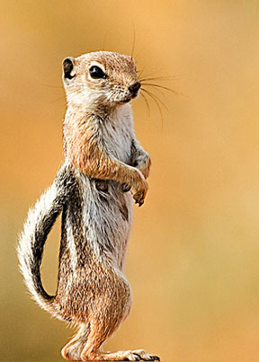 White_Tailed_Squirrel