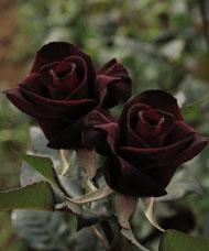 F01c9_black_baccara_1_