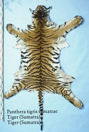 1024px-Panthera_tigris_sumatrae_(Tiger_(Sumatra))_skin